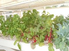 Aquaponics vegetables do NOT taste fishy! Does farm-raised food taste like cow manure? Aquaponics vegetables are fresh and delicious. Hydroponic Grow Systems, Aquaponics Greenhouse, Hydroponics System, Hydroponic Gardening, Vertical Farming, Fish Tanks, Control Panel, Aquariums