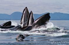 Humpbacks bubble-net feeding, Alaska, Chatham Strait, by Jon Comforth