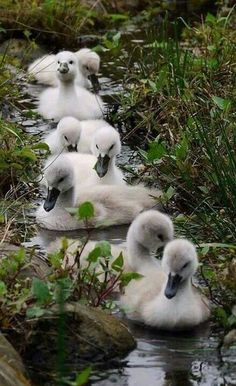 ⓕurry & ⓕeathery ⓕriends - photos of birds, pets & wild animals - seven wee cygnets. Farm Animals, Animals And Pets, Cute Animals, Wild Animals, Beautiful Birds, Animals Beautiful, Beautiful Babies, Beautiful Family, Simply Beautiful