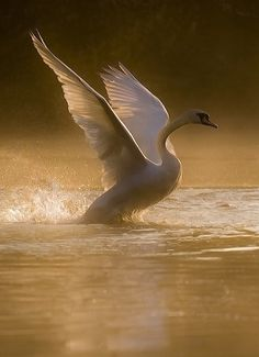 A majestic swan takes flight - nights golden light surrounds her