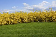 If you plan on using forsythia as a hedge, it is important to plant them correctly. This article has information on planting forsythia hedges and forsythia hedge pruning so you can find success with this type of hedge. Click here to learn more.