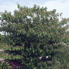 Pagoda dogwood, Green osier. Latin name: Cornus alternifolia. Zones 4-7. Learn more here http://www.finegardening.com/plantguide/cornus-alternifolia-pagoda-dogwood.aspx