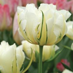 Exotic Emperor Tulip - Flowers And Bulbs Bulb Flowers, Tulips Flowers, Exotic Flowers, White Plants, Fall Plants, Lawn And Garden, Garden Art, Cold Climate Gardening, Organic Gardening