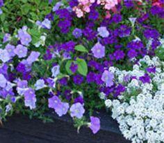 Kit La Vague Bleue : pour fleurir ses jardinières, vasques sur votre terrasse et balcon; pétunia et lobularia (alysse)