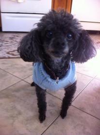 Kayla the toy poodle