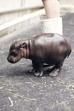 Baby hippo. The young often rest on their mothers' backs when the water is too deep for them, and they swim under water to suckle. They also will suckle on land when the mother leaves the water.