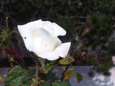 La rosa de Martí.