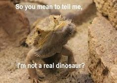 «No, dumb face, ur the love baby of a dragon and a lizard. With some beard here and there. Bearded Dragon Funny, Bearded Dragon Cage, Bearded Dragon Habitat, Funny Animal Memes, Cute Funny Animals, Cute Baby Animals, Funny Pets, Animal Funnies, Les Reptiles