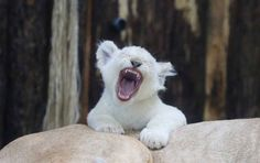 """One of four white lion babies tries to roar as it sits on the back of its mother """"Kiara"""" at the zoo in Magdeburg, eastern Germany, on March 2, 2017. Four white lion babies were born at the zoo six weeks ago."""