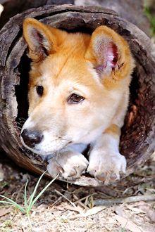 Australian Dingo--- looks so much like Lucky!! #Australia #dingo Australian…