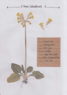 Die Schlüsselblume. Digitales Herbarium. Herbal Hunter Kräuterblog.
