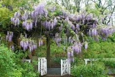 wisteria covered structures in th by jum jum