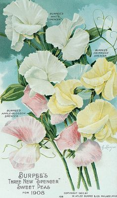 Alois Lunzer's beautiful Sweet Pea illustrations for W. Atlee Burpee & Co. Garden Catalogs, Seed Catalogs, Decoupage, Seed Illustration, Sweet Pea Seeds, Garden Labels, Vintage Seed Packets, Seed Packaging, Vintage Gardening