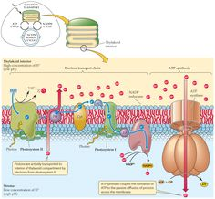 Chemiosmosis is the mechanism of ATP production in photophosphorylation. Biology Lessons, Teaching Biology, Cell Biology, Molecular Biology, Biochemistry Notes, Electron Transport Chain, High School Biology, Medical Anatomy, Cell Membrane