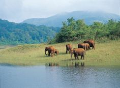 Elephants in Periyar national park
