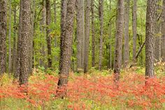 Fall color at Hawn State Park in Ste. Genevieve County, Mo......beautiful trails and camping!