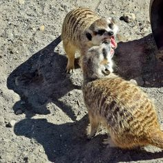 Meerkat scrum at Point Defiance Zoo Tacoma WA - Adventures through Photography