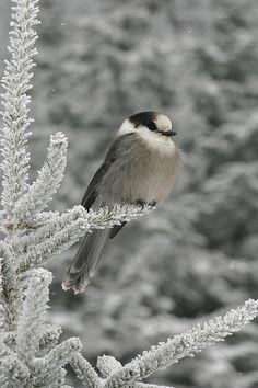 Little grey fellow on a grey winter day.          SG