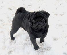 Beautiful Pug #pug