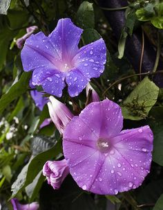 Morning Glories after Rain