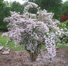 Kolkwitzia amabilis pink cloud or Beautybush. This one from Future Plants by Randy Stewart: