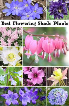 Best Flowering Shade Plants, a wide varitie of gorgeous flowers that bring color to the shady part of your garden. Some are dual purpose and can grow in sun as well.