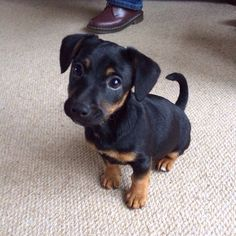 This is Nigella, my brothers Jack Russell mix/ cross Dachshund. She is ADORABLE!