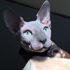 How can people hate sphynx cats? Theyre beautiful, its like owning a tiny egyptian god! Pretty Cats, Beautiful Cats, Animals Beautiful, Animals And Pets, Baby Animals, Cute Animals, Baby Giraffes, Wild Animals, Cute Hairless Cat