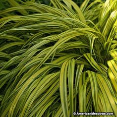 This is a beautiful variegated grass that forms handsome fountain-like plants growing only 8-12 inches tall. (Hakonechloa macra)