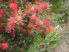 Grevillea Winpara Gem Grevillea thelemannia x olivacea 'Winpara Gem' A fast growing and attractive, upright shrub with grey-green deeply divided leaves. Scarlet, spider flowers that ope… How To Attract Birds, Flower Pots, Flowers, Types Of Soil, Native Plants, Light Shades, Garden Plants, Container Gardening, Shrubs