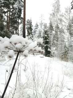 Luminen väinönputki