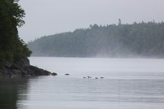 Mergansers in the mist | by asiseeit08, #subiwilksphotography