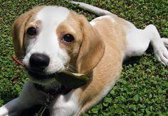 sweet lemon beagle