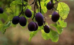 Traditional Orchards: Damsons at Brockhampton's Traditional Orchards in Herefordshire.