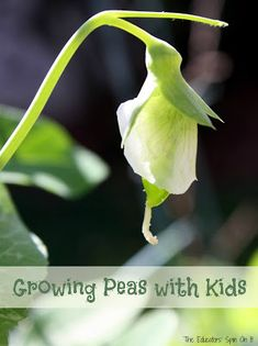 Growing Peas with Kids in the Garden - The Educators' Spin On It
