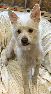 Pictures of Chai a Westie, West Highland White Terrier/Lhasa Apso Mix for adoption in Phoenix, AZ who needs a loving home.