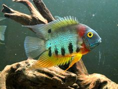 Summary: The most ideal tropical fish temperature is and 79 F. Some kind of research must be done on the fish, to know there ideal temperature which suits them, warmer or colder. Tropical Freshwater Fish, Tropical Fish Aquarium, Freshwater Aquarium Fish, Aquarium Fish Tank, Cichlid Aquarium, Cichlid Fish, South American Cichlids, Oscar Fish, Cool Fish