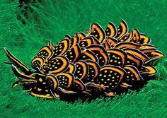 Black and Gold Sapsucking Slug, Cyerce nigricans