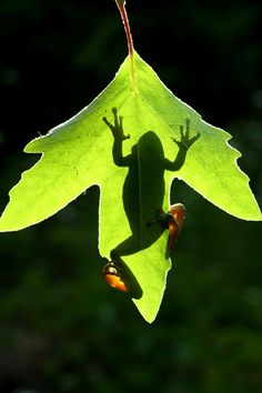 Frogs shadow