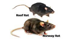 Image result for live rat