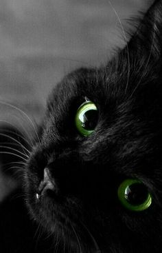 """Previous pinner wrote: """"Happy National Black Cat Appreciation Day, everyone! If you're looking for a companion, consider adopting a black cat. They're often adopted last."""" <-- What a beautiful kitty! Look at those big green eyes. Pretty Cats, Beautiful Cats, Animals Beautiful, Cute Animals, Pretty Kitty, Gorgeous Eyes, Wild Animals, Amazing Eyes, Hello Beautiful"""