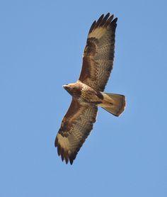 common buzzard from below