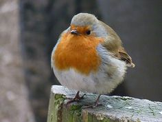 Robin at Moors Valley country park. by Flower Faerie on Flickr.
