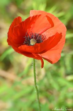 Photo by Alessandro Serresi - Photo 8707513 / Flower Images, Flower Pictures, Flower Art, Rare Flowers, Wild Flowers, Beautiful Flowers, Wildflower Drawing, Poppy Photo, Red Poppies