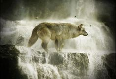 Biggest Timber Wolf Ever Recorded   , mythical, black, pack, the pack, white, quotes, timber, lone wolf ...