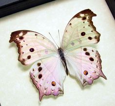 The Forest Mother-of-Pearl or Common Mother-of-Pearl (Protogoniomorpha parhassus) is a species of Nymphalidae butterfly found in forested areas of Africa.