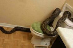 Noticia, Serpiente sale de un inodoro y ataca a una mujer | AccionMusical