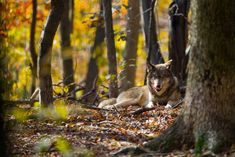 Animals And Pets, Cute Animals, Timberwolf, Wolf Pup, Wolf Love, She Wolf, Wild Wolf, Beautiful Wolves, Wild Creatures