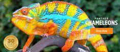 Chameleons For Sale: Veiled Chameleons For Sale, Panther ...