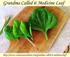 """Grandma called it Medicine leaf - common plantain, known as """"life medicine"""" can be used for treating bites and stings, sunburn and other skin ailments."""